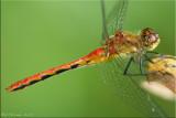 Mature Female Sympetrum