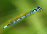 Marsh Bluet ~ Enallagma ebrium