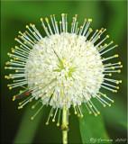 Button Bush Blossom