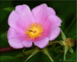 Swamp Rose with Ant