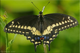 Papilio polyxenes ~ Black Swallowtail Male