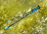 Skimming Bluet ~ Enallagma geminatum
