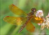 Eastern Amberwing ~ Perithemis tenera