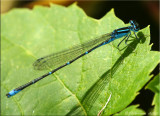 Stream Bluet ~ Enallagma exsulans