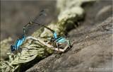 Skimming Bluets ~ Enallagma geminatum in Wheel