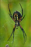 Garden Orb Weaver ~ Argiope aurantia