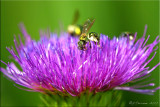 Thistle with Sweat Bees