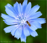 Chicory with Hover Fly