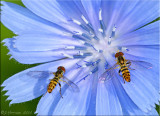 Syrphid Flies on Chicory