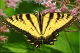 Papilio glaucus ~ Male Eastern Tiger Swallowtail