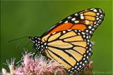 Danaus plexippus ~ Monarch Male