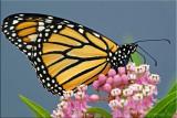 Danaus plexippus ~ Monarch Female