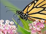 Female Monarch Close Up