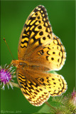Speyeria cybele - Great Spangled Fritillary