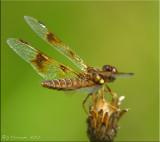 Eastern Amberwing Female ~ Perithemis tenera