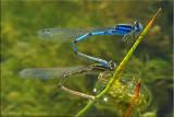 Enallagma civile ~ Familiar Bluets w/Brown Form Female