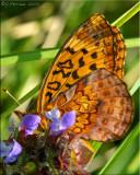 Meadow Fritillary ~ Boloria bellona