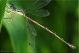 Female of the Lestes disjunctus Complex