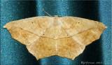 Prochoerodes lineola - Large Maple Spanworm - Hodges#6982