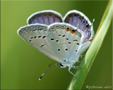 Cupido comyntas ~ Eastern Tailed-Blue Male