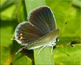 Cupido comyntas ~ Eastern Tailed-Blue Female