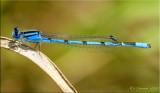 Enallagma civile ~ Familiar Bluet Male