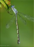 Sweetflag Spreadwing ~ Lestes forcipatus Female
