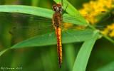 Pantala flavescens ~ Wandering Glider Male