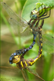 Lance-tipped Darner ~ Aeshna constricta