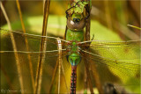 Anax junius - Common Green Darner