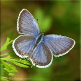 Cupido comyntas - Eastern Tailed-Blue