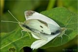 Mating Pieris rapae - Cabbage Whites