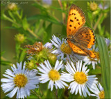 Lycaena hyllus - Bronze Copper on New England Asters