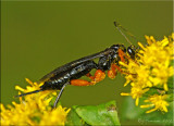 Ichneumon ~ Pimpla female