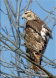 Perched Red-Tail