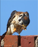 Kestrel Eating Giant Florida Katydid