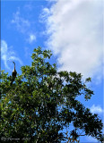 Under the Anhinga Tree