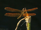 Perithemis tenera - Eastern Amberwing