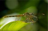 Dragonlets ~ Erythrodiplax