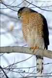 Cooper's Hawk Hen