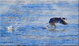 Common Merganser Take Off