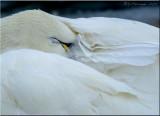 Sleeping Beauty ~ Tundra Swan