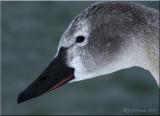 Tundra  Swan Juvenile