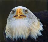 Feeding the Eagle