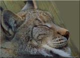 Eurasian Lynx Takes Catnap