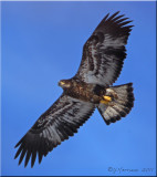 Bald Eagle Juvenile in Flight