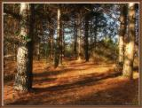 The Pine Trail