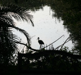 Daddy Limpkin on the lookout in the evening !
