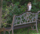 Mr. Hawk sits on my 'Bench of Thought' sometimes, at the edge of the lake..