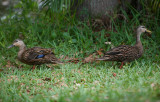 Mr & Mrs Black Duck  rested in my yard for a few hours & I never saw them again  :-(